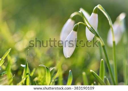 Snowdrops (Galanthus nivalis) Flowers in spring season. Beautiful natural blurred background with sun rays.  - stock photo