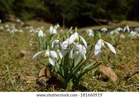 Snowdrops (Galanthus nivalis) in natural environment - stock photo
