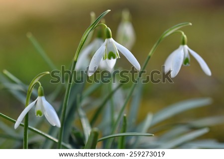 Snowdrops (Galanthus nivalis) Spring blooming flowers - natural spring background - stock photo