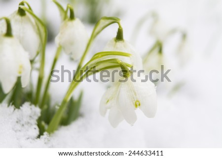 Snowdrops Growing In Snow