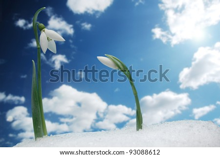 Snowdrops growing in snow - stock photo