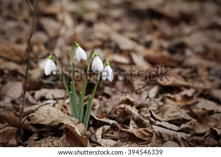 Snowdrops growing in the forest - stock photo