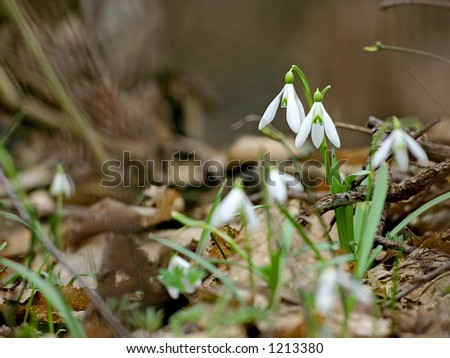 snowdrops in a forest close up - stock photo