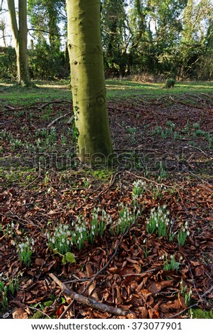 Snowdrops in a wood in late winter in the UK