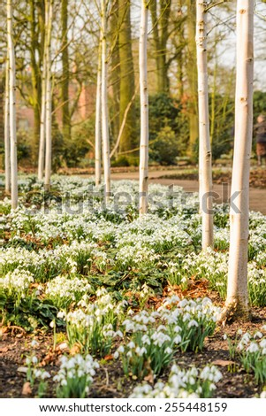 Snowdrops in a wooded area in springtime  - stock photo