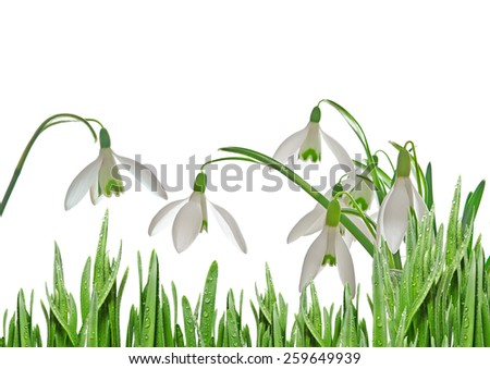 snowdrops in detail - stock photo