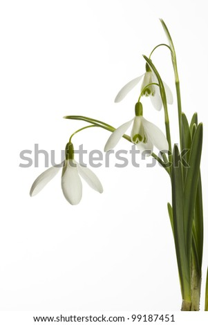 Snowdrops on a white background