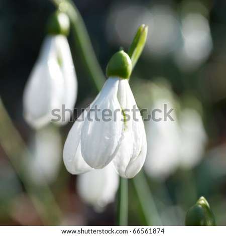 Snowdrops- spring white flowers with soft background - stock photo