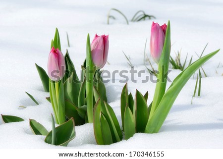 snowdrops tulip flowers in the snow Thaw - stock photo