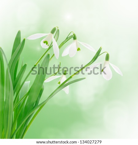 snowdrops with a colorful out of focus background.