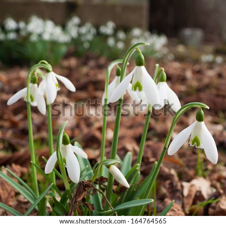 SnowdropsCloseup of snowdrops growing in leaf-covered soil - stock photo