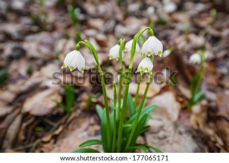 snowflake flowers - stock photo