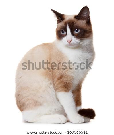 Snowshoe cat - stock photo