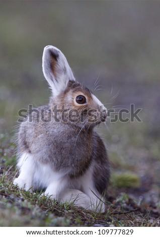 Snowshoe Hare changing from winter white to summer brown, near Norris Geyser, Yellowstone National Park, Wyoming / Montana / Idaho - stock photo