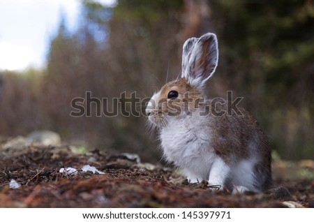 Snowshoe Hare, lepus americanus in between winter and summer pelage   varying hare half brown half white fur - stock photo