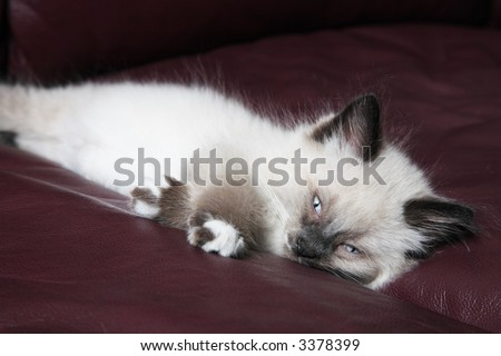 Snowshoe Lynx Point Siamese kitten napping on burgundy leather couch.  Rare breed, 2 months old. - stock photo