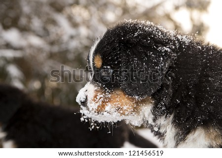 Snowy bernese mountain dog puppet looking after others - stock photo