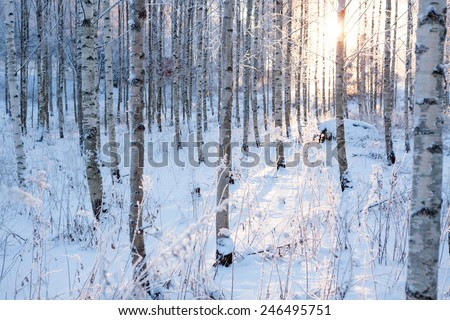 Snowy birch forest and sun light - stock photo