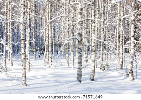 Snowy birch trunks and branches in a wintry forest on sunny day - stock photo
