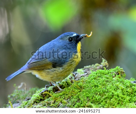 Snowy-browned Flycatcher, the lovely ball blue bird carrying worm in its bills standing on mossy log - stock photo