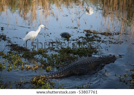 Snowy egret, alligator and turtle in water at Everglades National park - stock photo