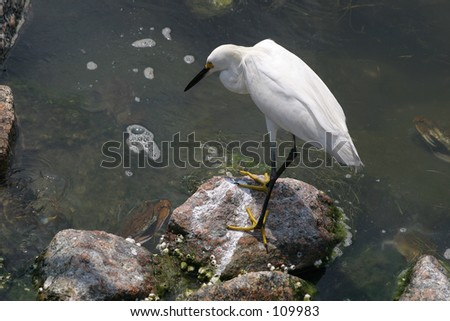 Snowy  Egret and crab - stock photo