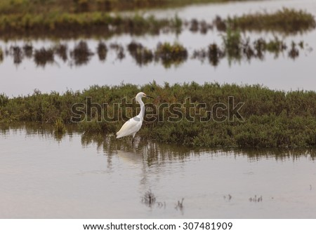 Snowy Egret, Egretta thula, forages near a tidal pool in Irvine, Southern California - stock photo