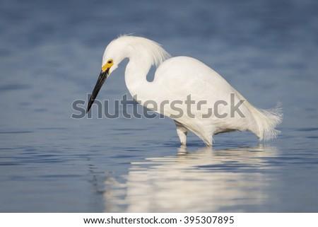 Snowy Egret (Egretta thula) Foraging in a Tidal Lagoon - St. Petersburg, Florida - stock photo
