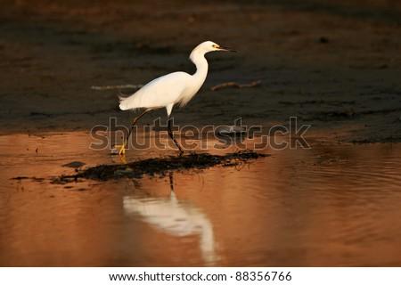 Snowy Egret (Egretta thula) hunts for prey in tidal flats at dusk. - stock photo