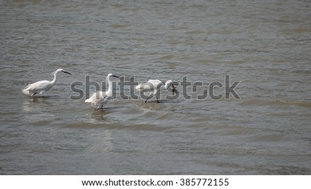 Snowy Egret (Egretta thula) running in the water, with a mud fish in beak, two following