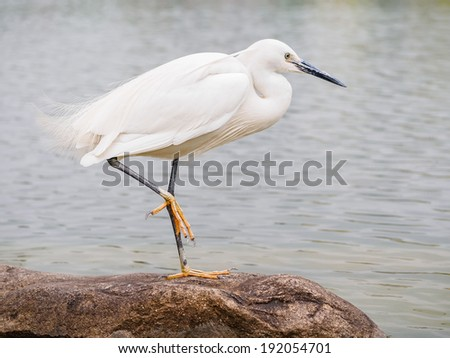 Snowy Egret (Egretta thula) Standing on rocks in the water by one leg, Shanghai, China - stock photo
