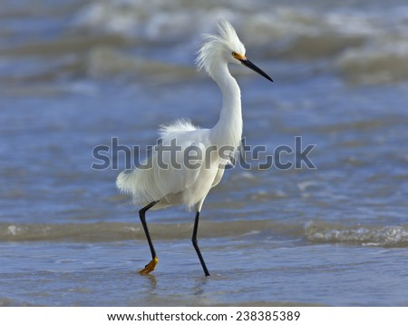 Snowy egret, Egretta thula, wading in shallow water  - stock photo