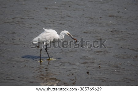 Snowy Egret (Egretta thula) walking in the water, catching a mud fish.