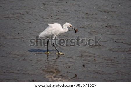 Snowy Egret (Egretta thula) walking in the water, with mud fish in its beak.