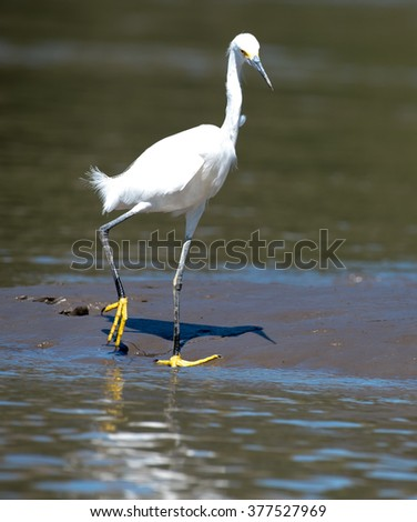Snowy egret fishing on the banks of the Palo Verde River