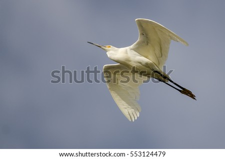 Snowy Egret Flying in Blue Sky