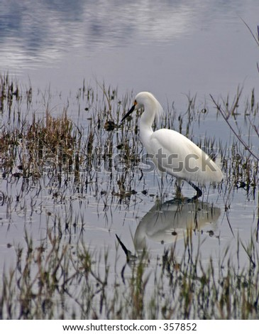 Snowy Egret Hunting at Bear River Migratory Bird Refuge - stock photo