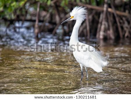 Snowy Egret in breeding plumage.  Migration at Ding Darling Wildlife Preserve in Sanibel Island, Florida - stock photo
