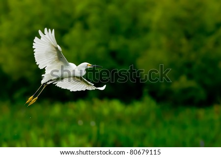 snowy egret in florida wetland, with saturated colors due to rainy day - stock photo