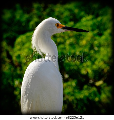 Snowy egret in front of a background of green trees.