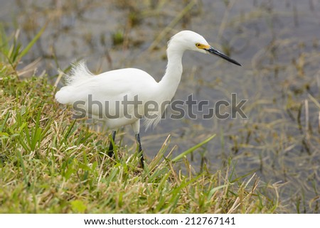 Snowy Egret in Shark Valley of the Everglades in Florida - stock photo