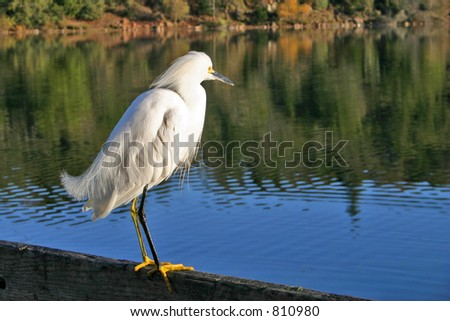 Snowy Egret in Sonoma County Park - stock photo