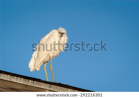 Snowy Egret perched on a covered fishing pier roof looking for food on a cool fall morning