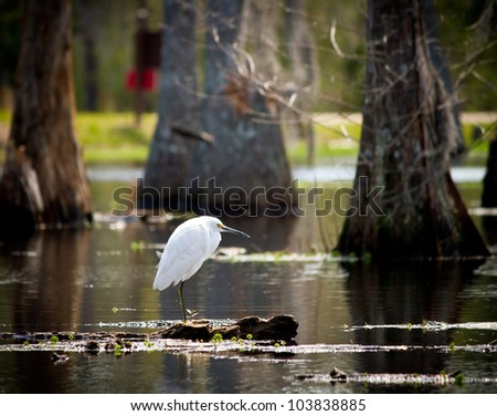Snowy Egret perched on a cypress knee in Sam Houston Jones State Park; Moss Bluff, Louisiana. - stock photo