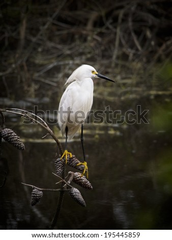 Snowy Egret perched on tree limb over water. - stock photo