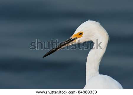 Snowy Egret portrait with blue water background