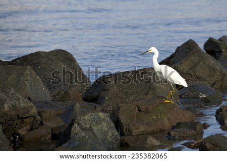 Snowy Egret, scientific name Egretta thula, looking for food in the shallow waters at low tide in San Francisco Bay - stock photo