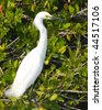 Snowy Egret standing in a mangrove - stock photo