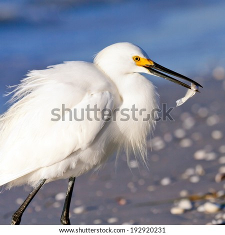 Snowy egret with fish, Sanibel Island, Florida - stock photo