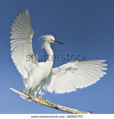 Snowy egret with spreaded wings.  Latin name - Egretta thula. Focus on eye. Very detailed high resolution image. - stock photo
